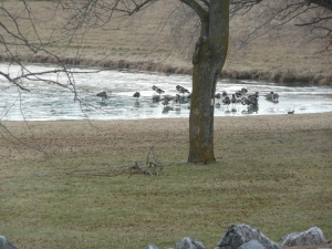 Duck pond at the McCormick Farm